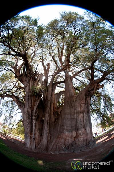 Widest Tree in Fisheye - Santa Maria del Tule, Oaxaca