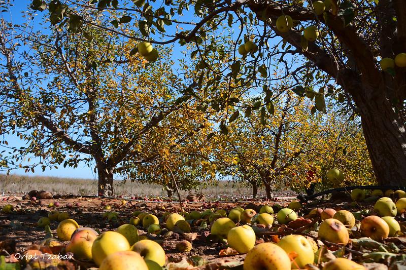 תפוחים בגולן.jpg