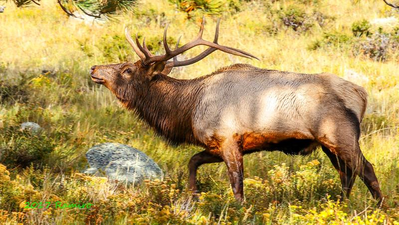 Edited Elk IMG_0752.jpg