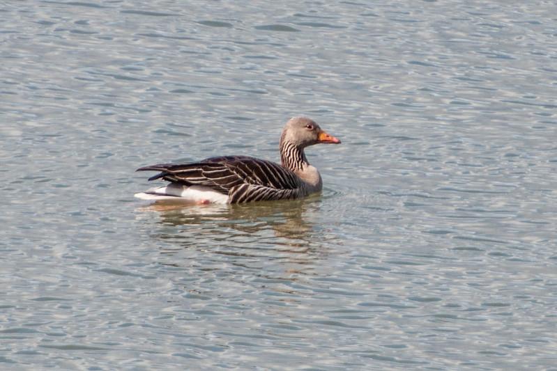 Graylag Goose - Blönduós, Iceland