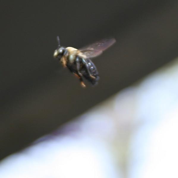 Bee in Flight - 2