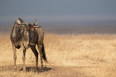 Ñu/Nyumbu/Blue Wildebeest (Connochaetes taurinus)