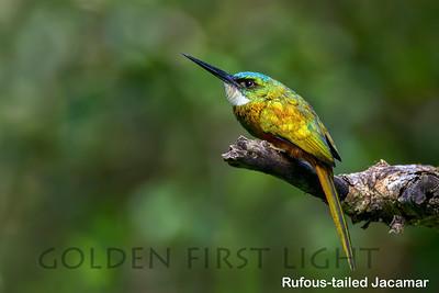 Rufous-tailed Jacamar, Trinidad & Tobago