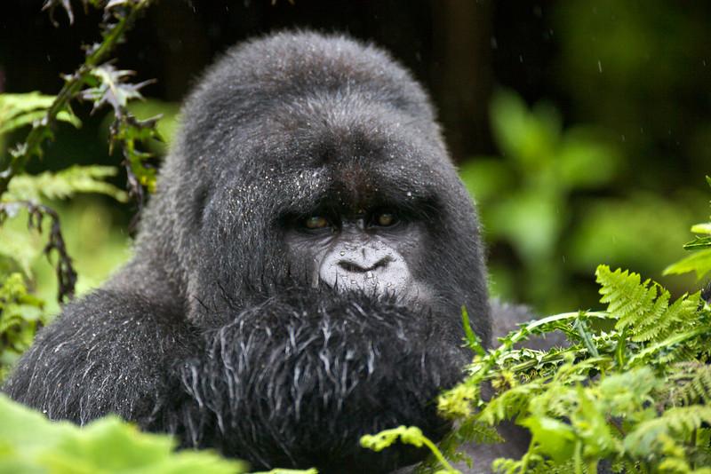Gorillas  8405.jpg