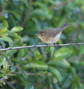 Kanariantiltaltti (Phylloscopus canariensis)