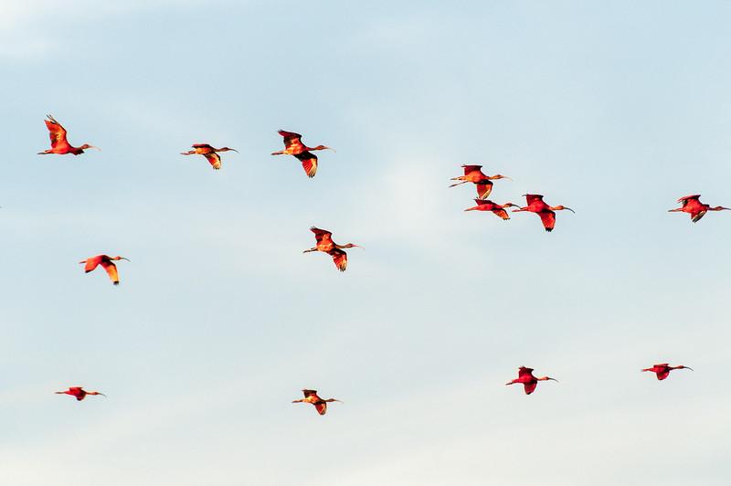 Birds on flight on the island of Trinidad