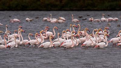 Flamingos do Estuário do Tejo