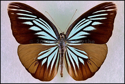 Lepidoptera after Papilio