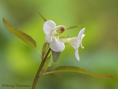 Broomrape family, Orobanchaceae