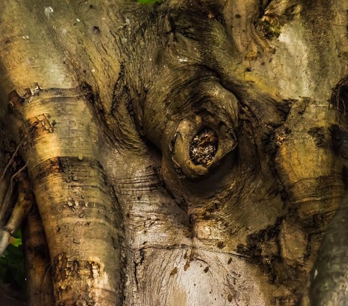 Banyan Tree 30