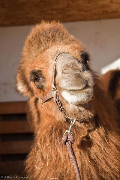 Bactrian Camel, Calgary Zoo Nov. 14