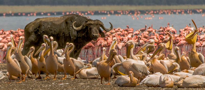 Cape Buffalo-3.jpg
