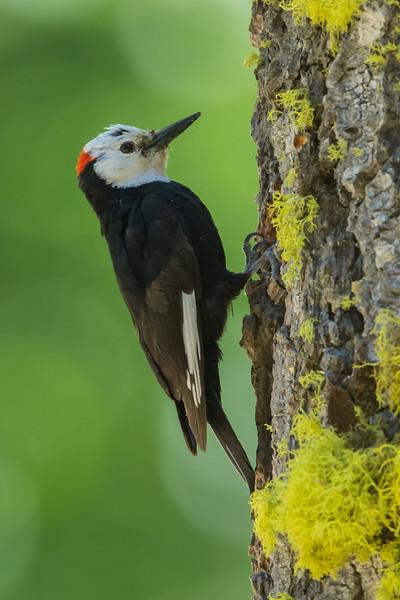 White-headed Woodpecker - Male - Sierra Valley & vicinity, CA, USA