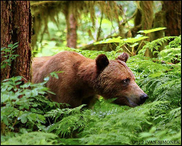 BROWN/GRIZZLY BEARS (Ursus arctos horribilis)