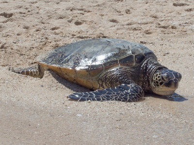 Turtles in Paradise Cove Oahu 5-26-13