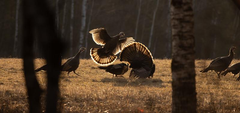 Wild Turkey flock displaying male toms courtship Skogstjarna Carlton County MN  IMGC5650.jpg