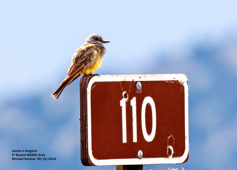 IMG_7507 3T crp Cassin's Kingbird Ft Bayard Wildlife Area NM.jpg