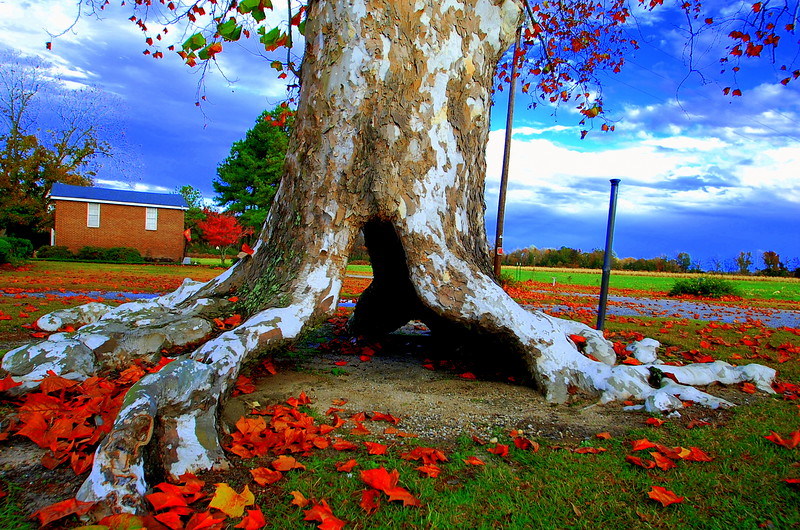 south carolina tree