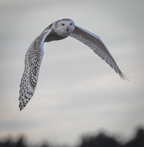 DSC_1289 Snowy Owl wings down.jpg