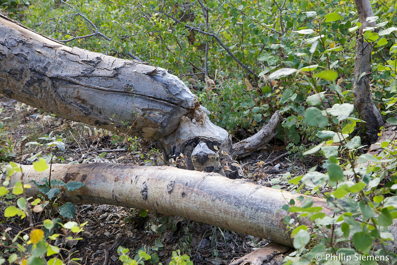 Those beavers can take down some mighty large trees