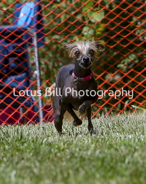 Chinese Crested 2 SR