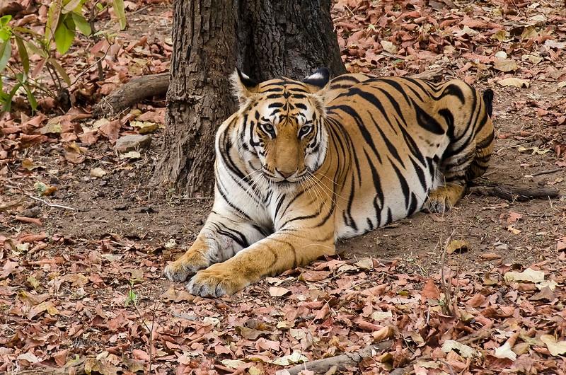 Tigress Spotty