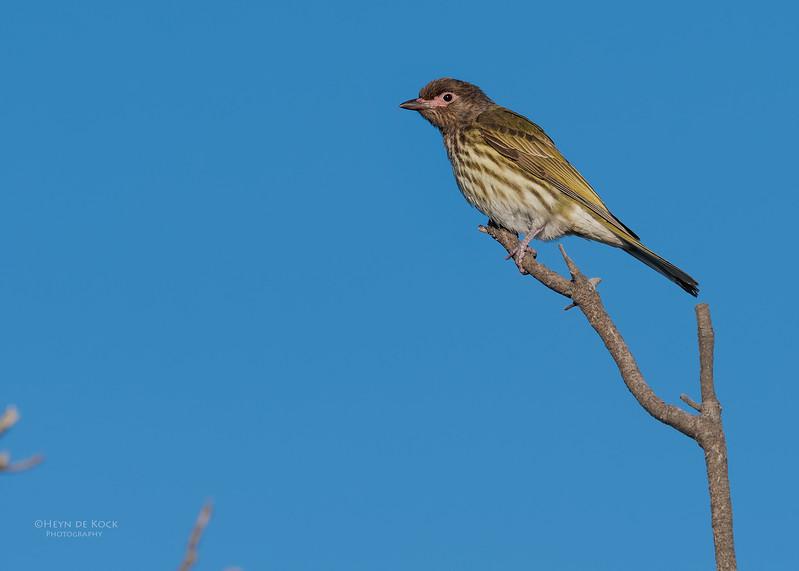 Australasian Figbird, Woolgoolga, NSW, Aus, Aug 2017-2.jpg
