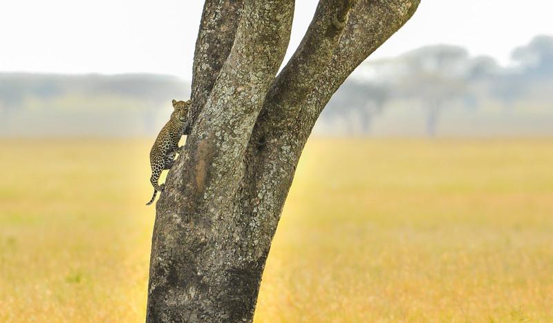 Leopard-cub-Serengeti-2.jpg