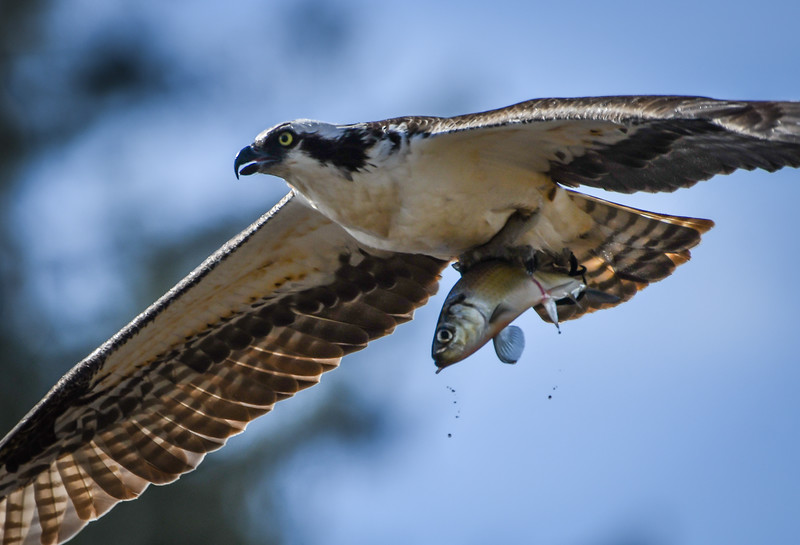 Osprey with fish close up