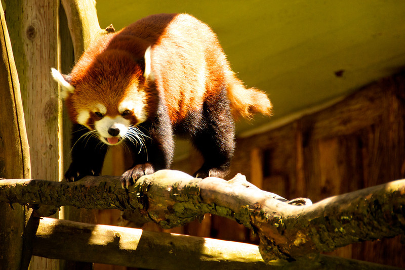 Cutest red panda - although those claws look pretty mean