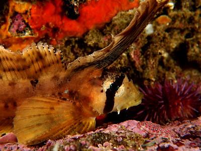 Nautichthys oculofasciatus (sailfin sculpin)