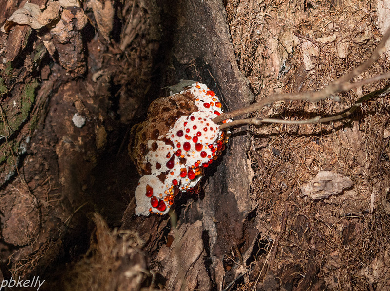 10-14.  Peak Preserve.  Hydnellum peckii, Bleeding Tooth Fungus.  Definitely a first for Jeanne Williams and I.