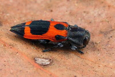 genus Nascioides