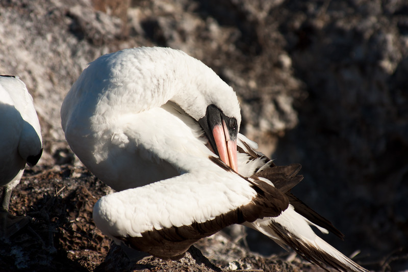 Nazca Booby Cleaning its Self : Journey into Genovesa Island in the Galapagos Archipelago