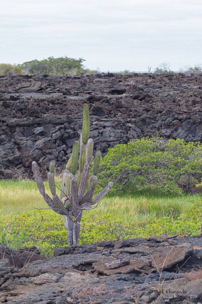 Candelabra Cactus - Punta Moreno, Isla Isabela, Galapagos, Ecuador