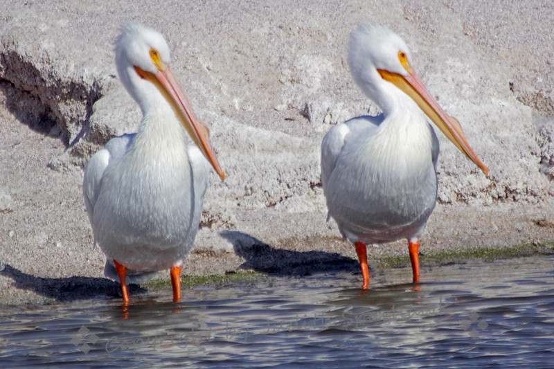 American White Pelicans ~ Photographed at Salton Sea.