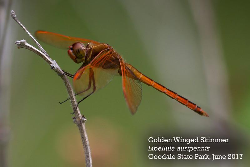 Golden Winged Skimmer.jpg