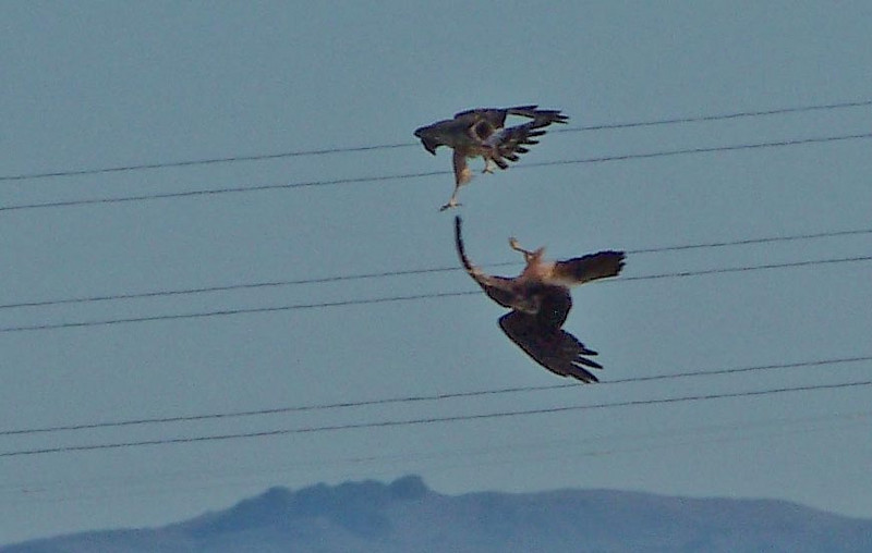 Northern Harriers play in mid-air- Las Gallinas
