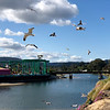 A flock of birds flies over a bluff, by the Santa Cruz Beach Boardwalk, over the San Lorenzo river