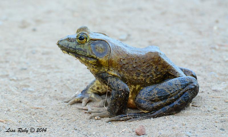 Bullfrog  - 7/6/2014 - Poway Pond
