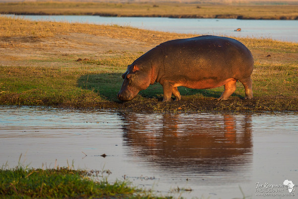 Morning light on a care free Hippo