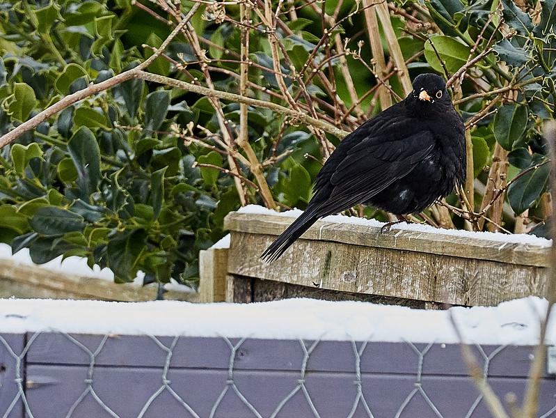 Day 60 - Garden Birds-4352.jpg