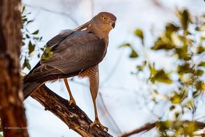 Goshawks, Collared Sparrowhawk, Black-breasted Buzzard