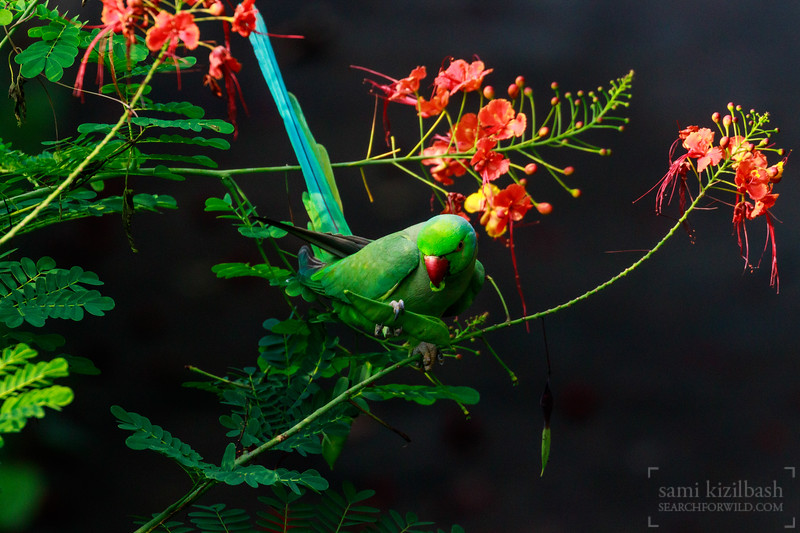Rose-ringed Parakeet 10.jpg