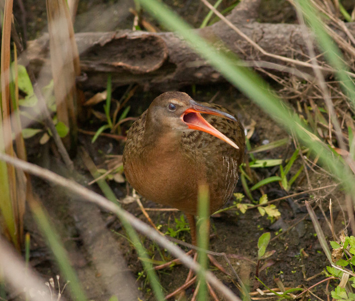 Rails, Gallinules, and Coots (Rallidae)