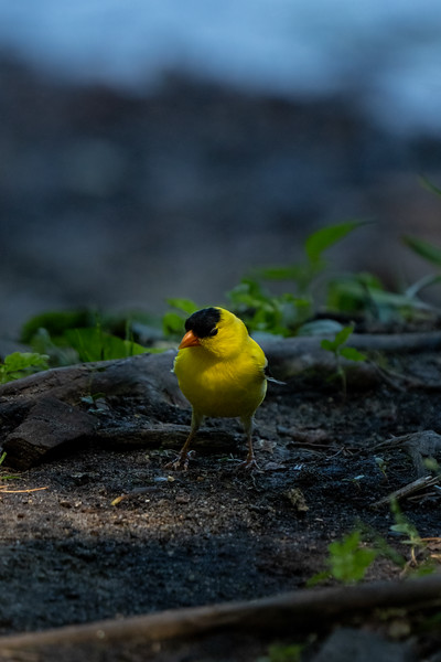 goldfinch searching the cool ground for an easy meal
