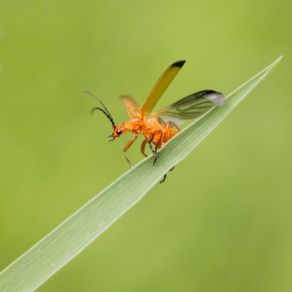 Common red soldeir beetle taking off