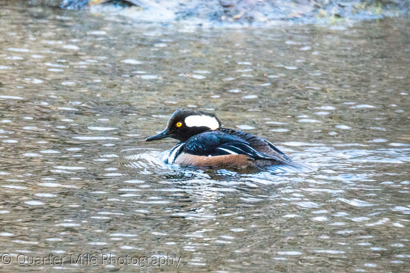 Mr. Hooded Merganser
