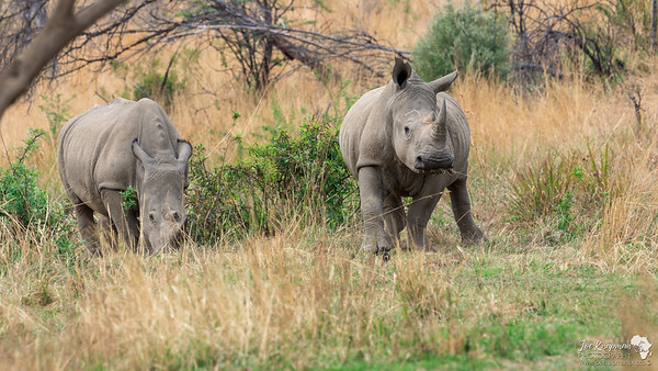 A duo of Rhino