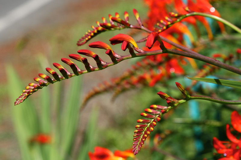The garden today on July 7, 2012 The crocosmia is really starting to bloom a lot now that we have some sun!